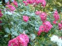 Rosier Mozart dans les jardins
