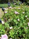 Rosiers jardins du Pin et fleurs céramique de Martine Diersé