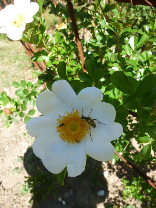 Rose d'été et insecte butineur